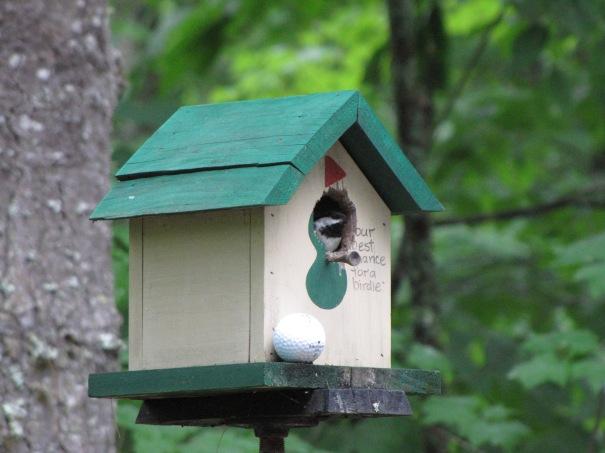 chickadee in NH