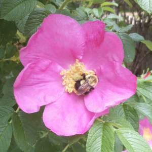 Isn't this a lovely rose? The bee loves it and I do too.