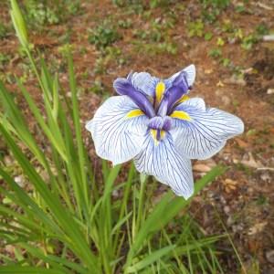 Water Iris ensata 'Azumakagami