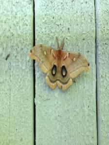 Gail Snell sent me this Polyphemus moth photo