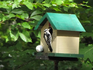 Here's a woodpecker checking out the bird house. The chickadee parents quickly drove him away.