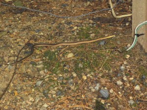 Here's the photo I took of the snake in my yard. I'm pretty sure it's a match for Bette's snake.