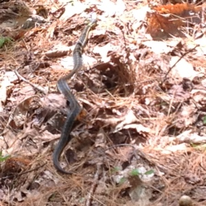 snake in New Hampshire