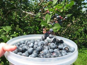 Picking blueberries at Blueberry Hill near Sanford, Maine.