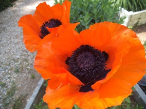 Poppies photographed by Virginia Allain.