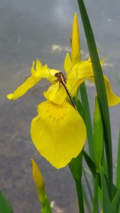A dragonfly takes a rest on an iris next to the pond.