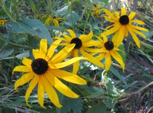 The black-eyed susan provides color, is drought-resistant and not a favorite of deer.  (photo by Virginia Allain)