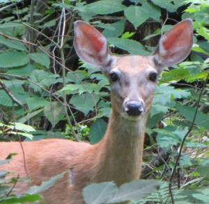This doe gave me a good stare before moving on. I was on my deck and she was in the woods close by. (photo by Virginia Allain)