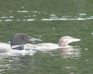 Here's an adult loon swimming with a young one. (photo by Virginia Allain)