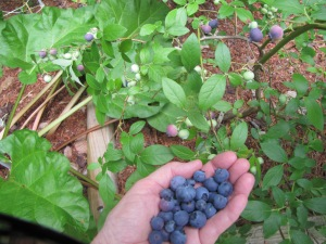Blueberries from my patch
