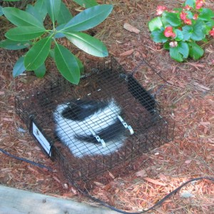 Skunk inside a catch-and-release trap.
