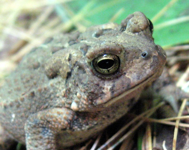 toad nh