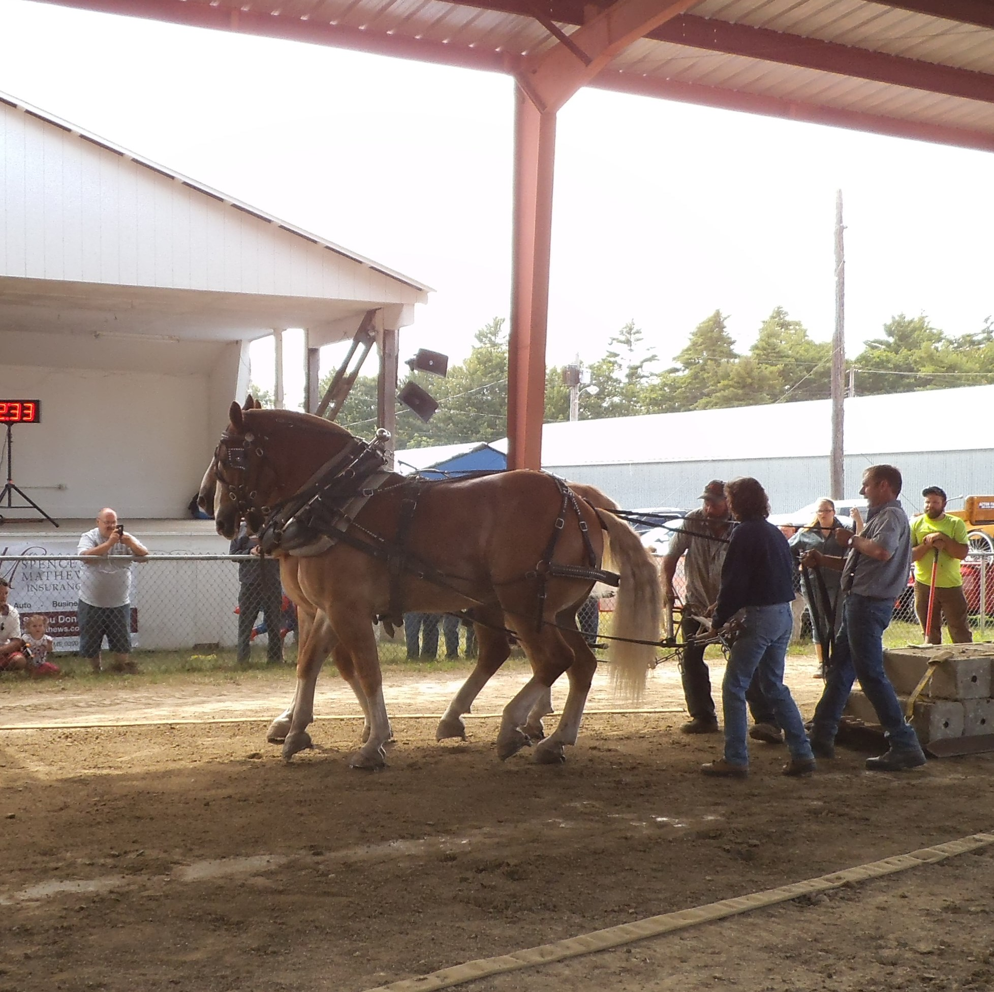 Draft Horses at the Acton Fair, Maine