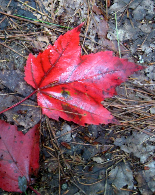 wet red maple leaf
