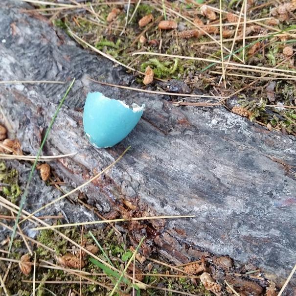 blue bird egg
