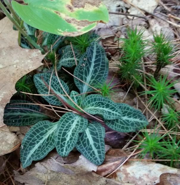 Rattlesnake plant in NH