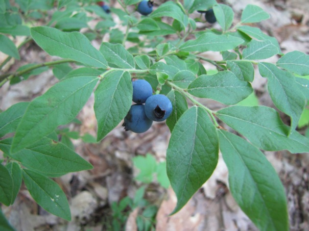 wild blueberries in New Hampshire