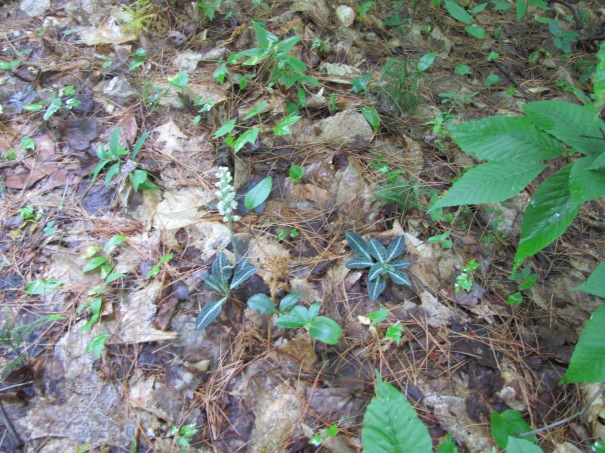 rattlesnake plant in New Hampshire woods