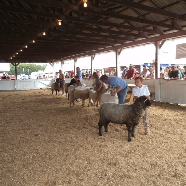 Sheep judging at Acton Fair, Maine