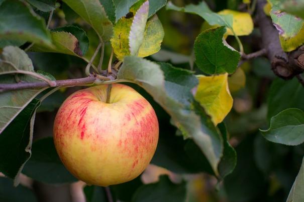 apple tree pixabay
