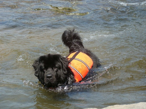 black dog in a life jacket