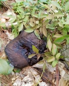 rotten black mushroom